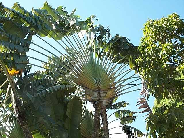 si j'étais un arbre, je serais... Arbre_du_voyageur